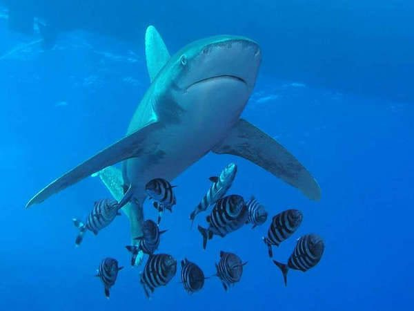 longimanus scuba diving egypt