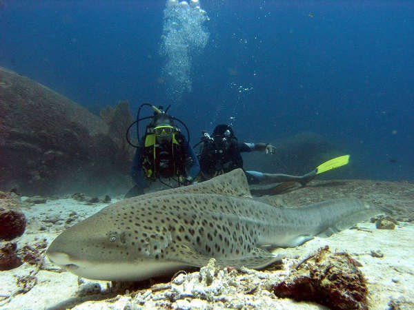 zebra shark on a scuba dive in phuket thailand